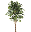 Rental store for 6Ft Ficus Tree in Fort Worth TX
